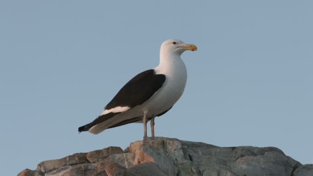 Seagull-standing-on-a-rock-