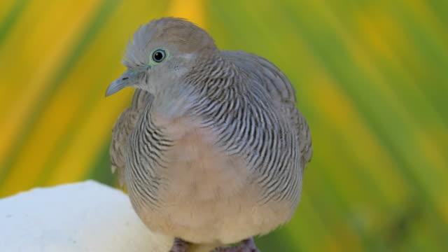Zebra-dove-on-Mauritius-Island