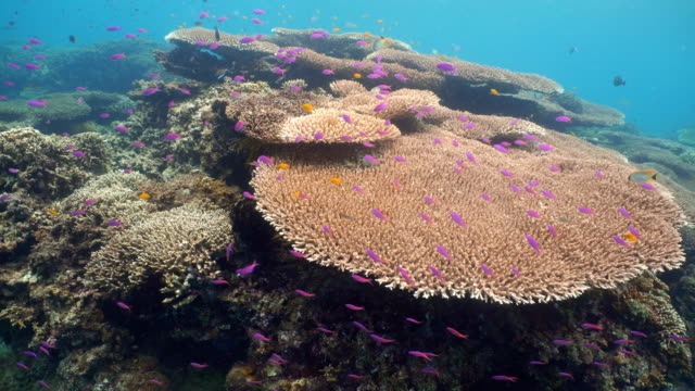 Coral-reef-and-tropical-fish-Philippines