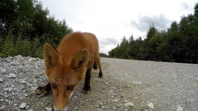 Beautiful-wild-red-fox-biting-camera-on-road