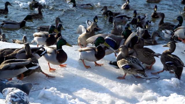 Patos-silvestres-en-el-hielo