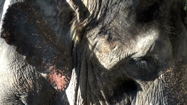 Thai-Elephant-face-closed-up-video