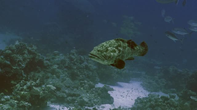 Big-Malabar-Grouper-in-Coral-reef-landscape