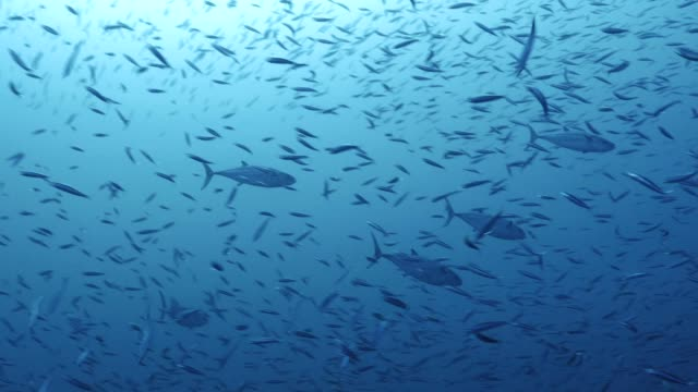 Group-of-Tuna-in-giant-school-of-Sardines-Red-Sea