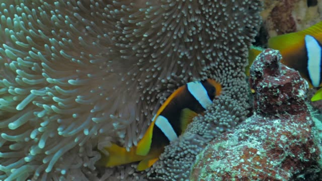 Clownfish-in-Anemone-Red-Sea