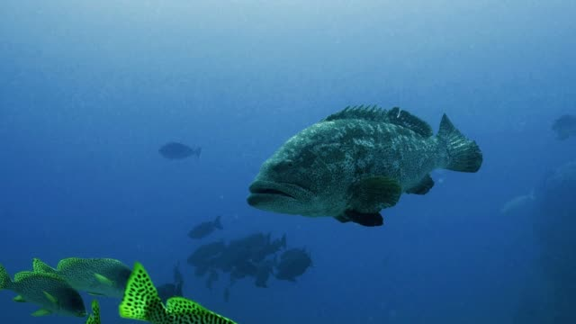 Big-Grouper-at-Coral-reef-Red-Sea