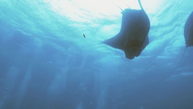 Huge-Manta-rays-do-loopings-underwater-shot-Palau