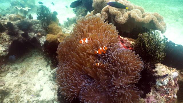 Clownfish-Anemonefish-in-anemone