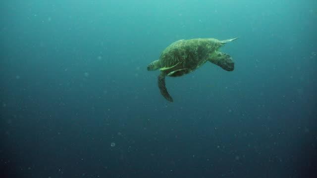 Sea-turtle-under-water