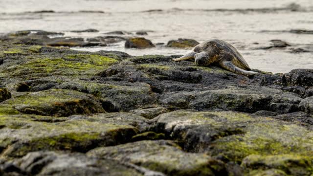 Hawaiian-Green-Sea-Turtle-Time-Lapse
