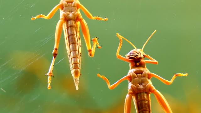 Locust-grooming