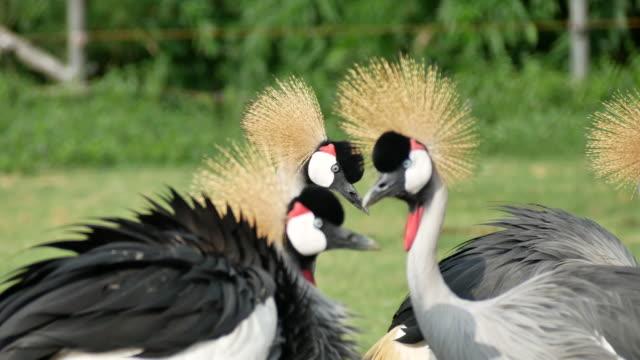 Grey-Crowned-Crane-Bird