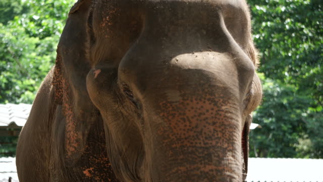 Close-up-shot-of-Asian-Indian-elephant-Beautiful-creature-in-motion-4k