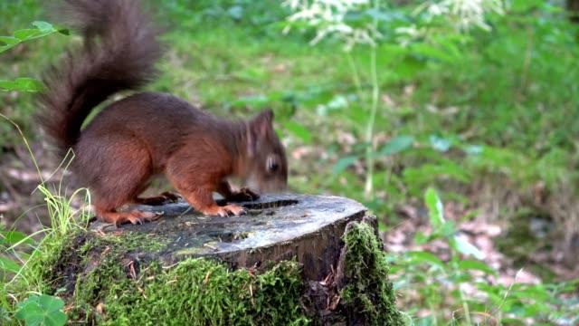 Ardilla-ardilla-roja-Eurasiática-bosque-tuerca-comer-buscar-tocón-4K