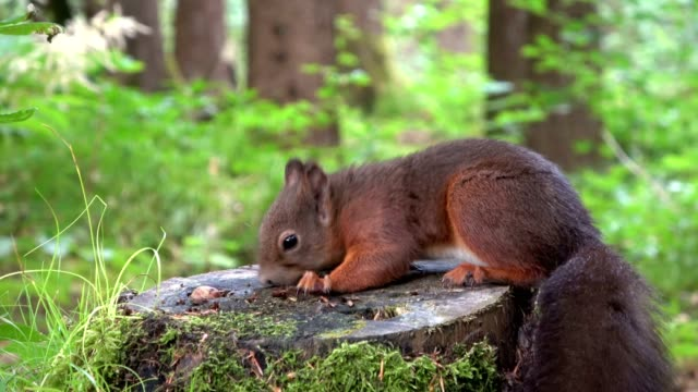 Squirrel-Eurasian-red-squirrel-forest-nut-eating-searching-stump-4K