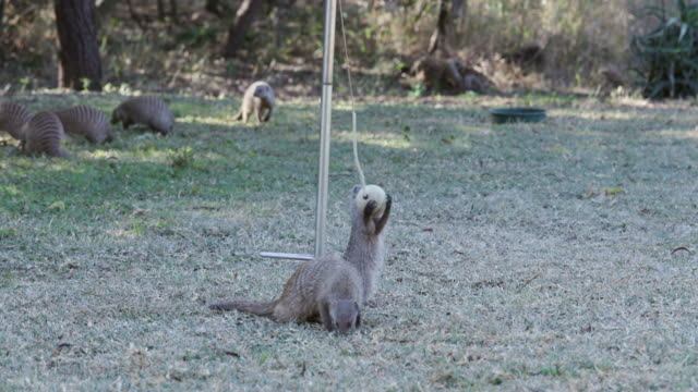 Funny-animal-Banded-mongoose-playing-with-a-swing-ball-in-a-suburban-garden