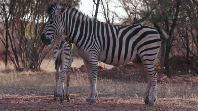 Cute-baby-zebra-foal-standing-next-to-its-mother