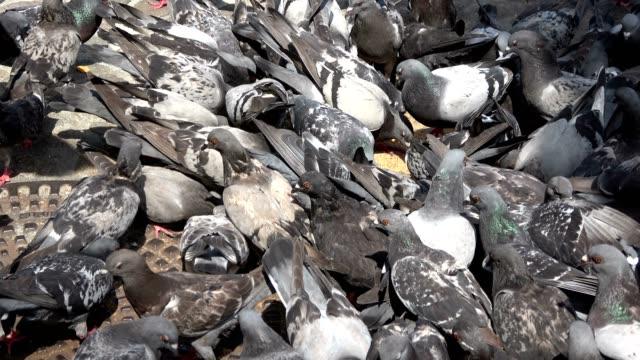 Dove-feeding-pigeons-pigeons-swarm-eating-4K
