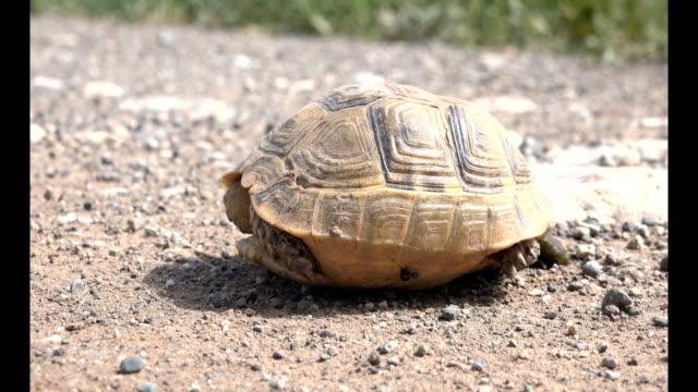 Peeing-Turtle