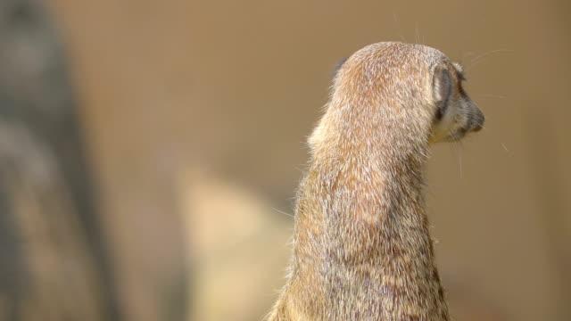 Un-pie-pequeño-mapache-con-cuello-largo