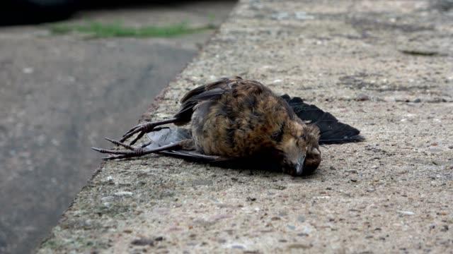 Dead-Blackbird-Turdus-merula-european-blackbird-Amsel-road-casualty-4K