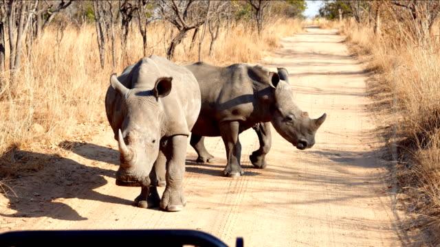 Par-de-Rhino-en-la-mitad-del-camino-de-tierra