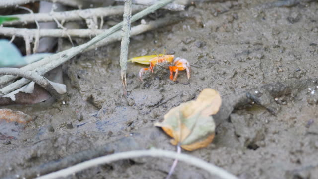 Cangrejo-rojo-de-manglar