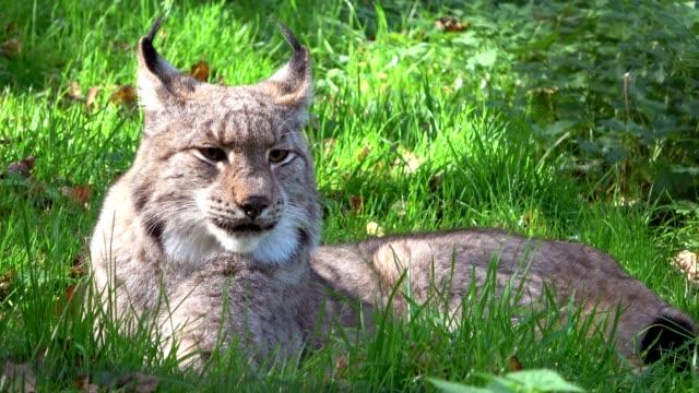 Lynx-lynxes-brush-ears-Pinselohren-portrait-head-Kopf-Luchs-4K
