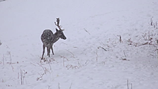 Jóvenes-ciervos-en-la-nieve-Prado-video-stock-uhd