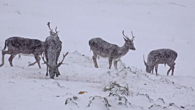 Venado-(Odocoileus-virginianus)-en-ventisca-de-nieve-de-invierno-vídeo-4-k