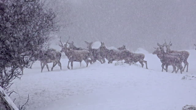 Grupo-de-bucks-madurados-venado-ventisca-de-nieve-de-invierno-enero-uhd-material-de-archivo