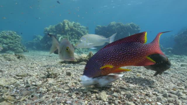 Mero-coral-comer-un-pulpo