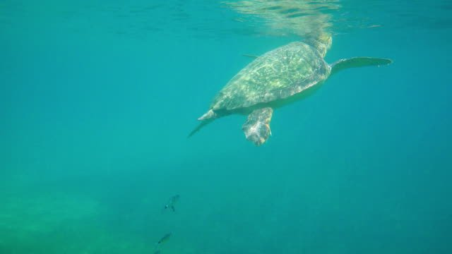 Large-sea-turtle-swimming-in-blue-sea-under-the-water-surface-