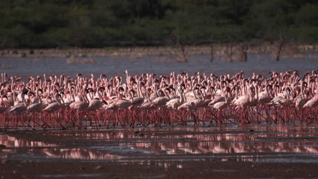 Lesser-Flamingo-phoenicopterus-minor-Colony-at-Bogoria-Lake-in-Kenya-Slow-Motion-4K
