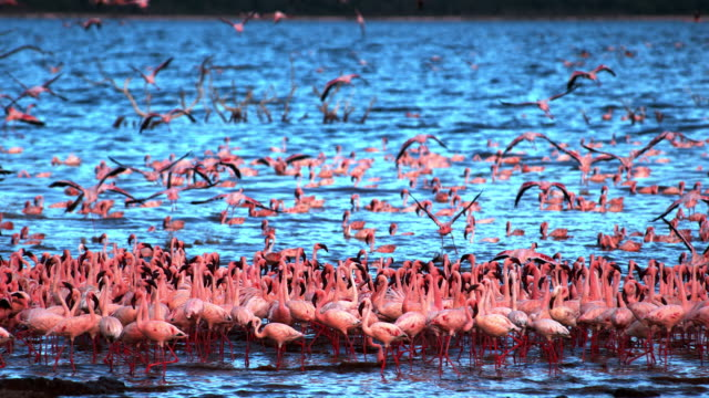 Lesser-Flamingo-phoenicopterus-minor-Group-in-Flight-Taking-off-from-Water-Colony-at-Bogoria-Lake-in-Kenya-Slow-Motion-4K