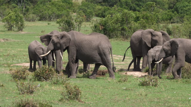 African-Elephant-loxodonta-africana-Group-in-the-Bush-Masai-Mara-Park-in-Kenya-Real-Time-4K