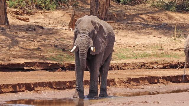 African-Elephant-loxodonta-africana-Adult-drinking-at-River-Samburu-Park-in-Kenya-Real-Time-4K