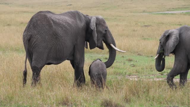African-Elephant-loxodonta-africana-Group-Eating-Grass-Masai-Mara-Park-in-Kenya-Real-Time-4K