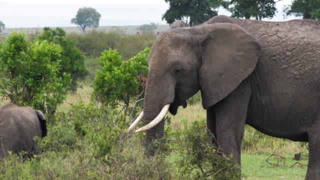 African-Elephant-loxodonta-africana-Masai-Mara-Park-in-Kenya-Real-Time-4K
