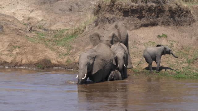 African-Elephant-loxodonta-africana-Group-crossing-River-Masai-Mara-Park-in-Kenya-Real-Time-4K