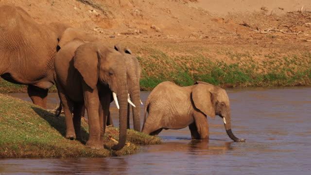 African-Elephant-loxodonta-africana-Group-drinking-Water-at-River-Samburu-Park-in-Kenya-Real-Time-4K