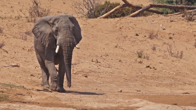 African-Elephant-loxodonta-africana-Samburu-Park-in-Kenya-Real-Time-4K