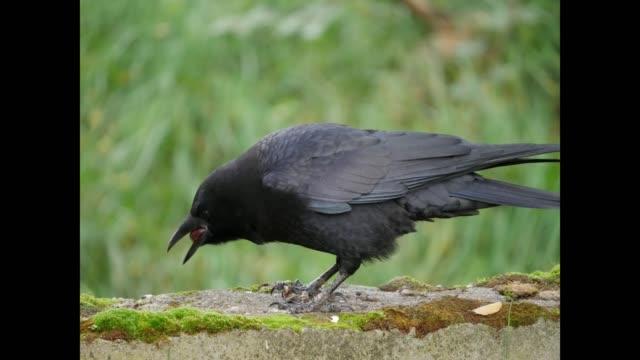 Crow-video-4ksolustion