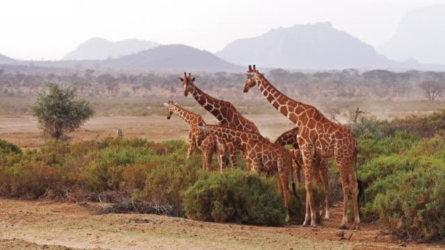Reticulated-Giraffe-giraffa-camelopardalis-reticulata-Group-at-Samburu-park-in-Kenya-Real-Time-4K