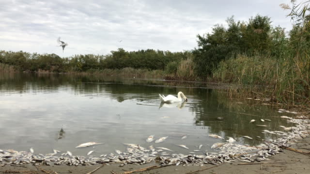 Swan-And-Dead-Poisoned-Fish-In-river