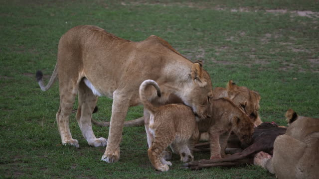 African-Lion-Panthera-Leo-Gruppe-mit-einem-Kill-ein-Wildebest-Masai-Mara-Park-in-Kenia-Real-Time-4K