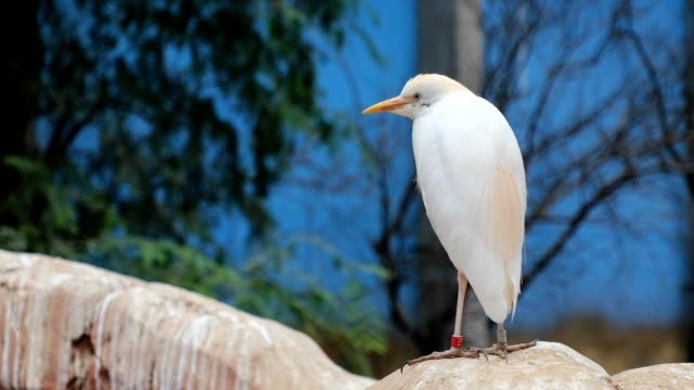 The-Pacific-reef-heron