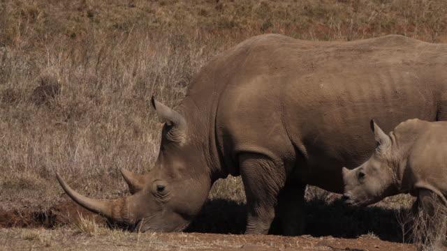 White-Rhinoceros-ceratotherium-simum-Mother-and-Calf-Nairobi-Park-in-Kenya-Real-Time-4K