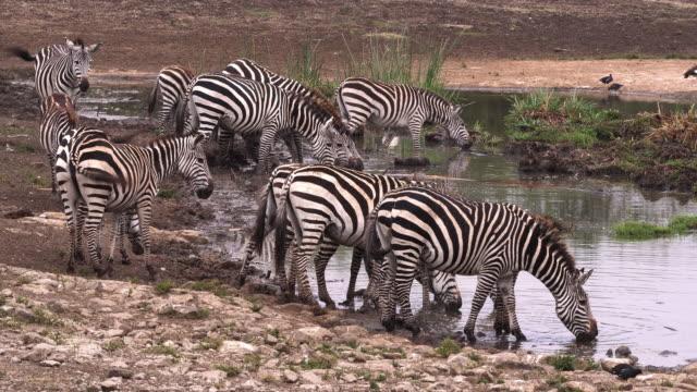 Grant-s-Zebra-equus-burchelli-boehmi-Group-at-Waterhole-Nairobi-Park-in-Kenya-Real-Time-4K
