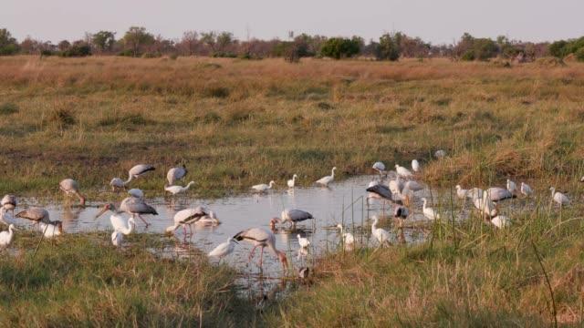 Un-grupo-de-pequeños-egrit-ibis-sagrado-Yellowbilled-cigüeña-Espátula-africana-alimentándose-de-un-borde-de-ríos-en-el-Delta-del-Okavango-Botswana